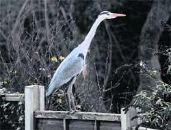 HeraldScotland: SNAP JUDGEMENT: Chris Skone-Roberts' photo of a heron which landed in his garden at the weekend
