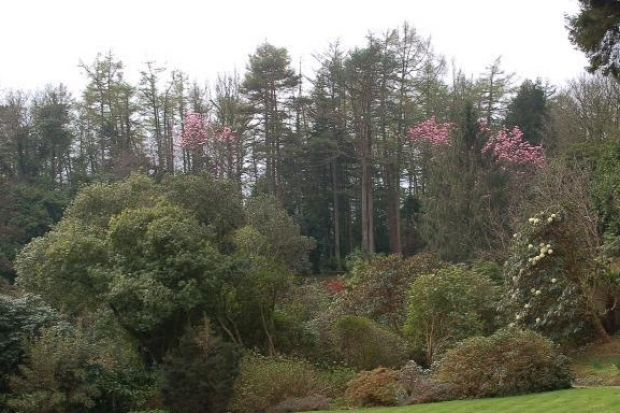 FACING THE AXE: Larch trees at Arduaine Garden, in Argyll, have been infected by a deadly fungus.