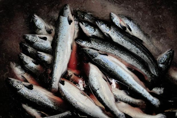 Pesticides are used to control sea lice in salmon on fish farm