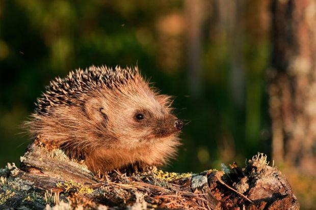 Damp hedgehogs fight for survival