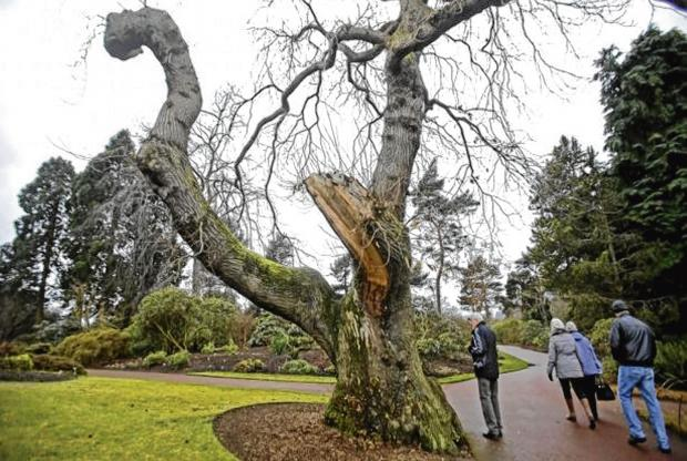 DESTRUCTION: Extensive damage was done to many trees in the Royal Botanic Garden when a storm hit early this year. Picture: Gordon Terris