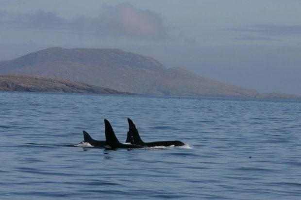 unique: Scientists say conservation status is now vital for the pod of Orcas seen off the north and west of Scotland. Picture: N VanGeel/HWDT