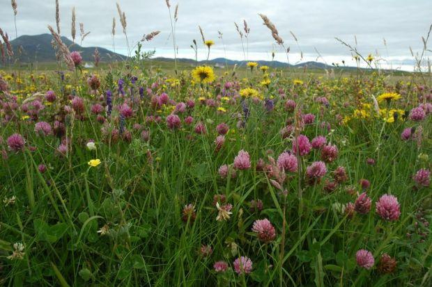 sensitive: The machair is  low-lying grassy plains found around the coastlines of Britain and Ireland, particularly the Outer Hebrides.