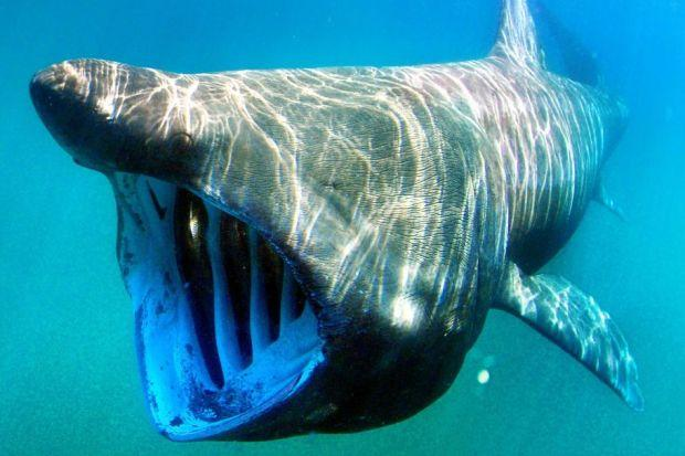 NO SIGN: The enormous but harmless basking shark is usually spotted off the Scottish coast at this time of year, but hardly any sightings have been reported to the Marine Conservation Society so far  this summer.  Picture: Rex Features