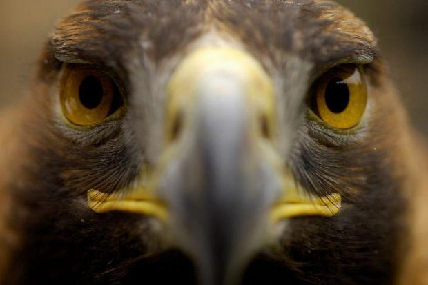 HUNTED: Scotland's golden  eagles have also been targeted.