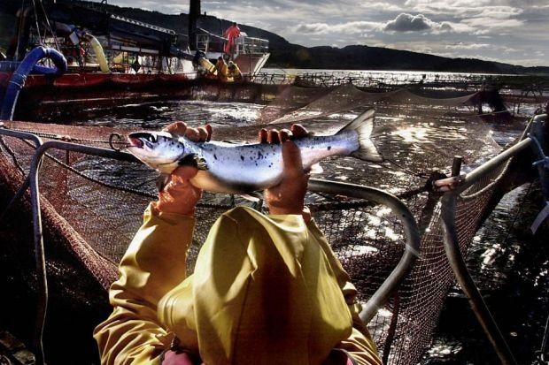 NET GAIN: A controversial study claims only 1% of wild salmon deaths are attributable to infested fish farms.