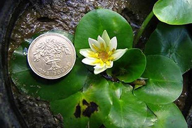 Rare waterlily stolen from Kew Gardens