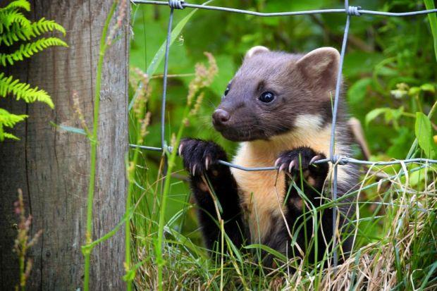 How the pine marten can save our red squirrels ...