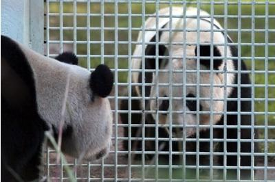 Pandawatch: after 2013's no-show, can Sweetie and Sunshine get their act together this year?