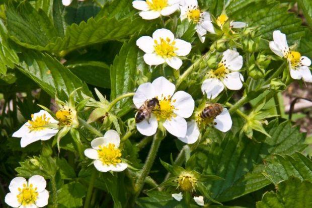 Strawberry plants produce better fruits if pollinated by bees rather than other methods. Photograph: Shutterstock