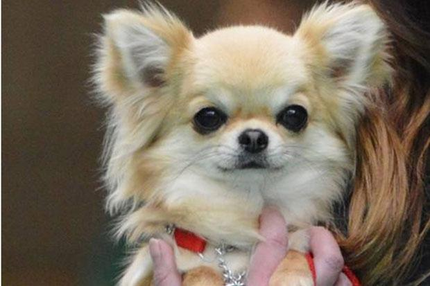 Valenchino Chihuahua Xena, who was named Best Puppy in Breed at Crufts 2014, was snatched with four other dogs, including her mother Io and grandmother Angel