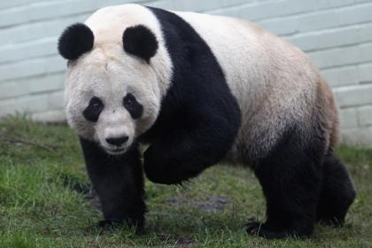 It's not positive: Edinburgh Zoo panda fails to mate naturally and gets artificial insemination