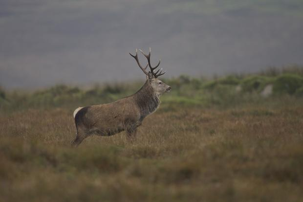 Wild red deer from the Amhuinnsuidhe Castle Estate