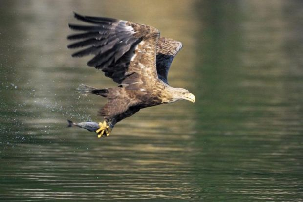 Driven to extinction, reintroduced ... now wind farms threaten sea eagles