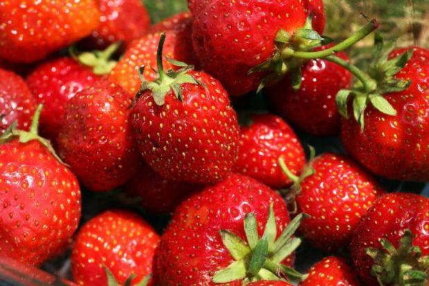 Strawberry plants fruit best in their second and third years but are worth maintaining for a fourth year before replacing them. Photograph: Oli Scarff/Getty Images
