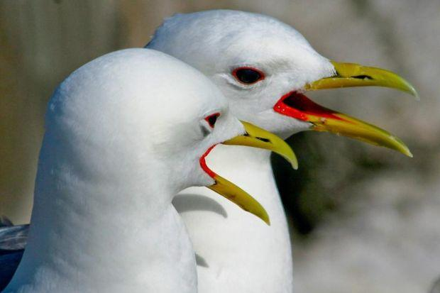 Kittiwakes are among the birds that make St Abb's Head their home
