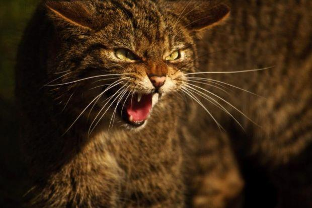 THREATENED: It is hoped the Scottish wildcat can be saved from possible extinction with the introduction of a new wildcat haven. Picture: Adrian Bennett