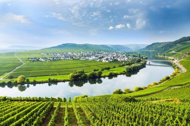 The scenic Mosel river is flanked by vineyards both large and small which predominantly grow white grapes, particularly riesling. Photograph: Shutterstock