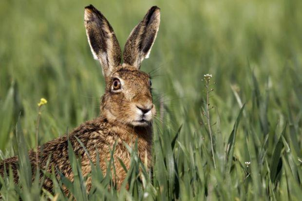 Outrage over mountain hare 'massacre'