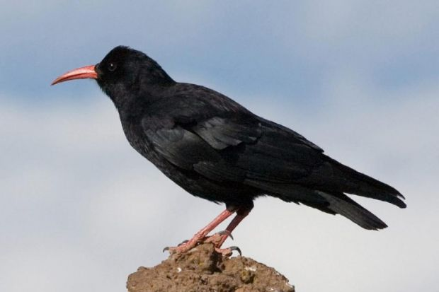 RARE BREED: The red-billed chough  has been getting help to survive.