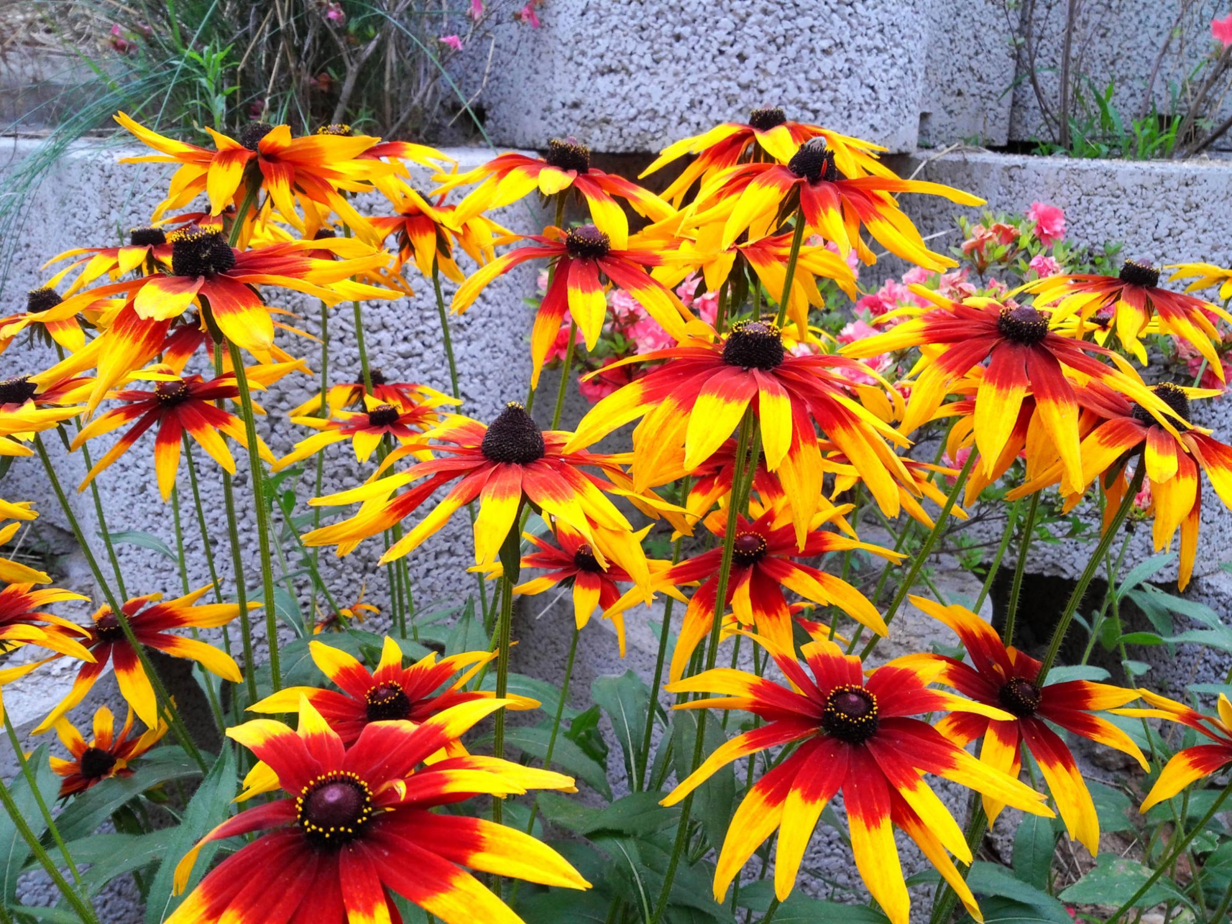 Herald Living Gardening Summer Bulbs To Lift Or Leave Heraldscotland