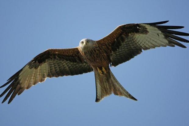 Two more red kites victims of poisoning and shooting