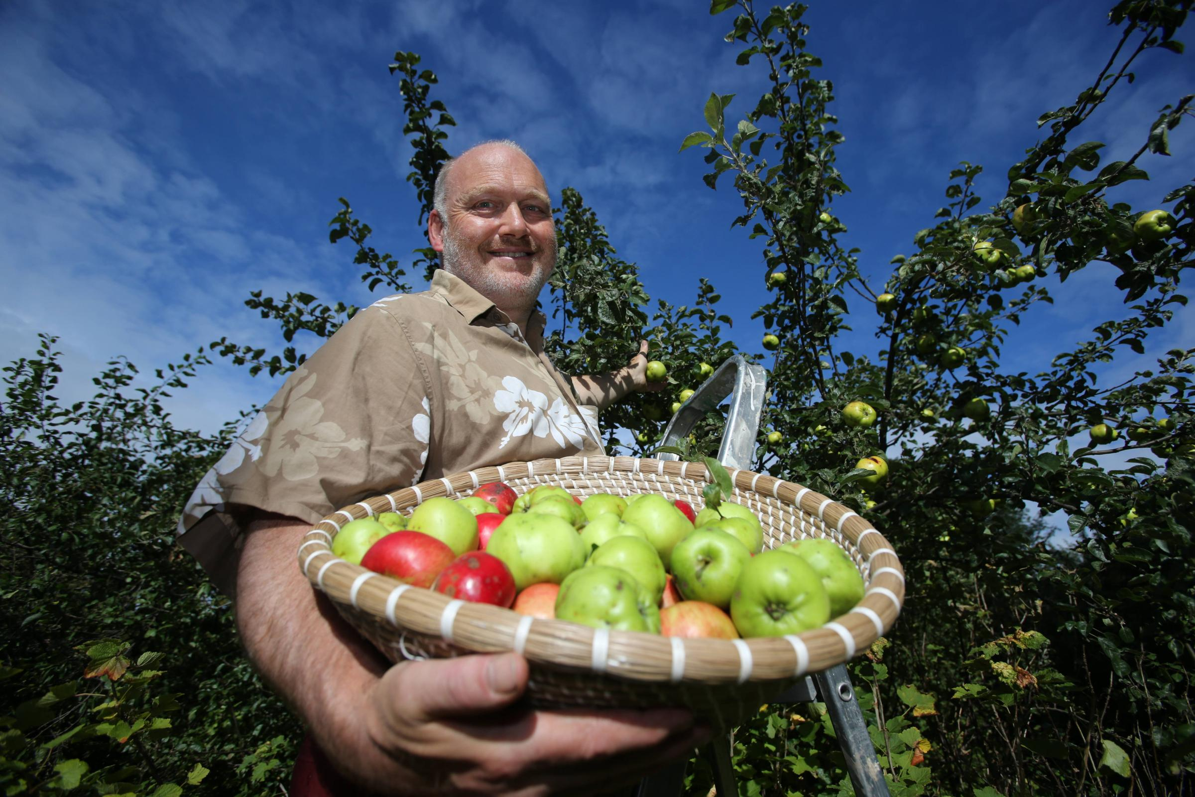 John Hancox picking apples at the launch of  Clyde Cider inThe Orchard inside the  Gorbals Rose Garden in the Gorbals Glasgow.Clyde Cider, made with best Glasgow and Clyde apples, will  be launched at the Scottish Parliament at the Holyrood Apple Day,Phot