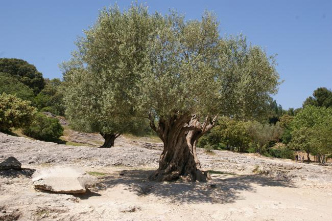 Cate Devine: Italian olive oil producers under investigation