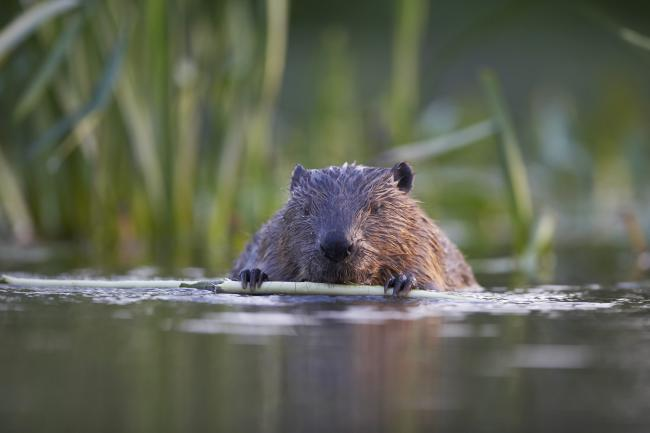 Tree felling by beavers may save millions in flood repairs