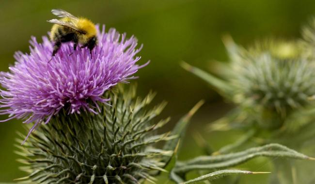 A bee on a thistle.  Photograph By Colin Mearns.  1 July 2004 Stock photograph. (55094643)