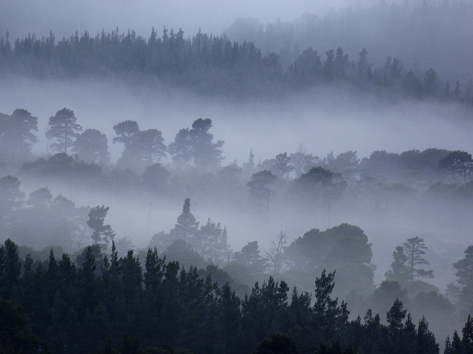 View of conifer forest shrouded in dawn mist, Rothiemurchus Forest, Cairngorms N.P., Highlands, Scotland, april