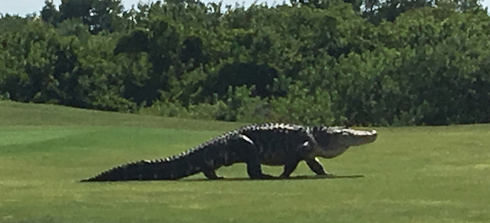 Watch This Giant Scary Alligator Invade A Florida Golf Course Heraldscotland