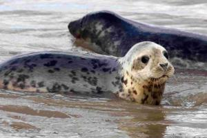 US warning over continued killing of seals by Scots fish farms