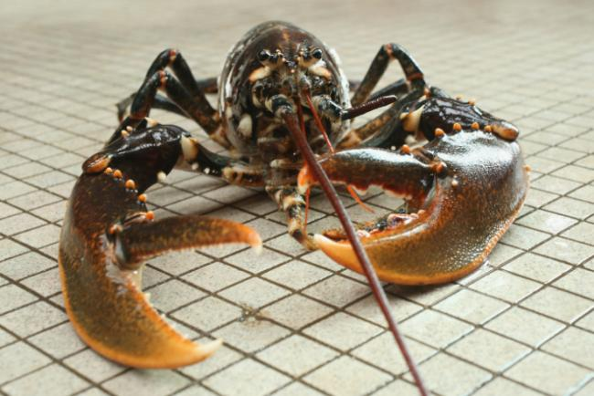 Fishermen fear Scottish lobster stocks 'could collapse' | HeraldScotland