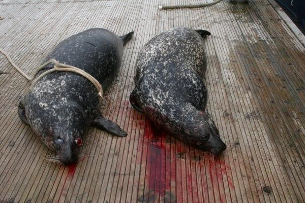 'End the slaughter of seals in Scotland now'
