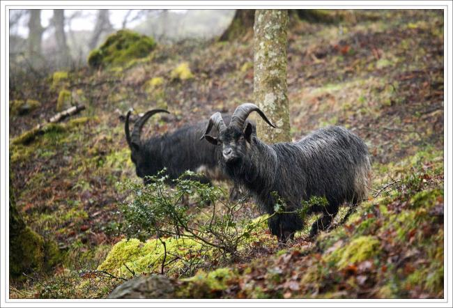 Concerns raised over the goat herd known as defenders of Robert the Bruce. Picture by Lighthouse Images