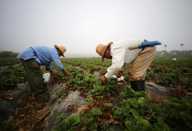 Farm workers pick strawberries in the early morning fog on a farm in Rancho Santa Fe, California, United States August 31, 2016.    REUTERS/Mike Blake  - RTX2NQK5