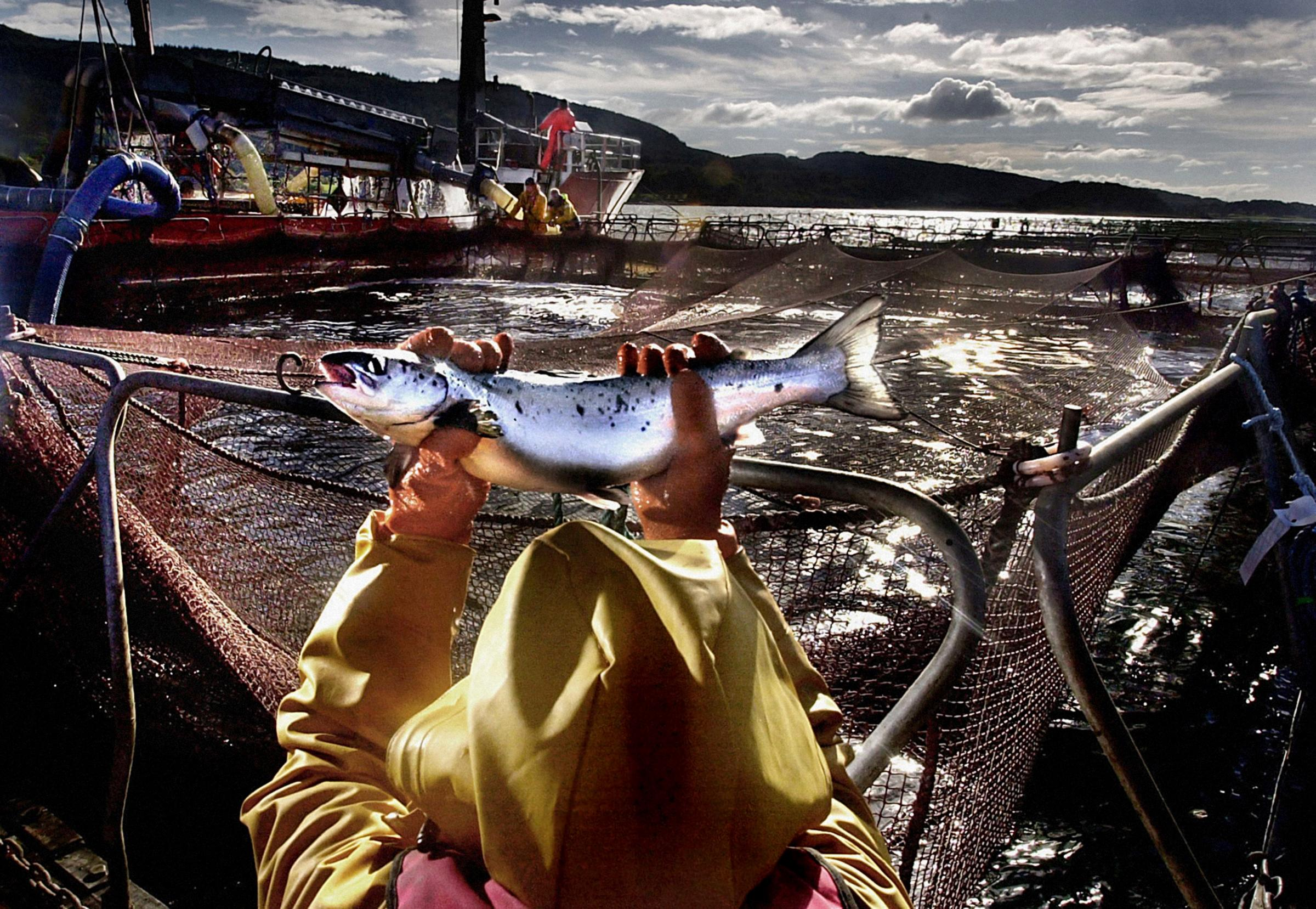 A worker at a salmon farm on Loch Linnhe near Fort William. Outbreaks of sea lice and accusations that farmed salmon are artificially coloured and may contain PCBs and dioxins, have put the fish farm industry under severe pressure.