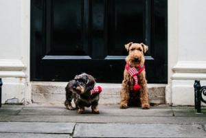 HeraldScotland: The Midge: Dogs of Downing Street make Christmas card debut