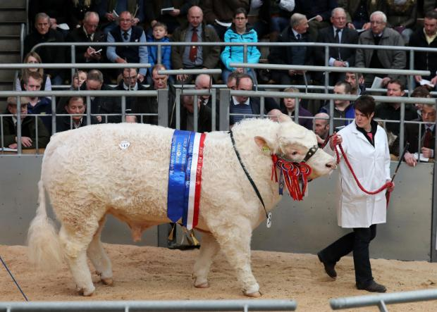 Pedigree cattle under the hammer at Stirling auction