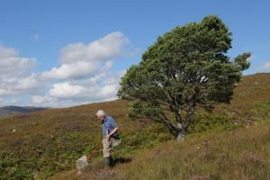 Peter Chandler sweep-netting for fungus gnats beside a lone Scots pine on Dundreggan