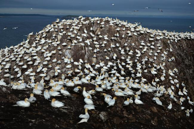 Gannets nesting on the Bass Rock