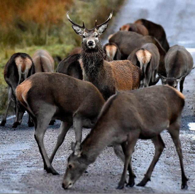The red deer population, seen here in Glen Etive, is at its highest in 1,000 years. Picture: Jeff J. Mitchell