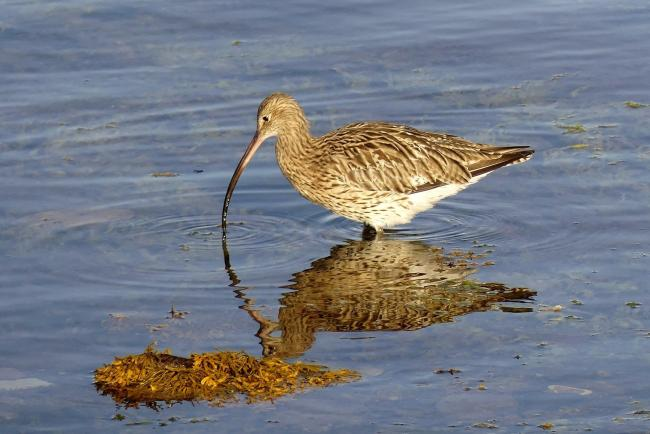 Curlew pictured in West Bay, Millport, by Eddie Williams.