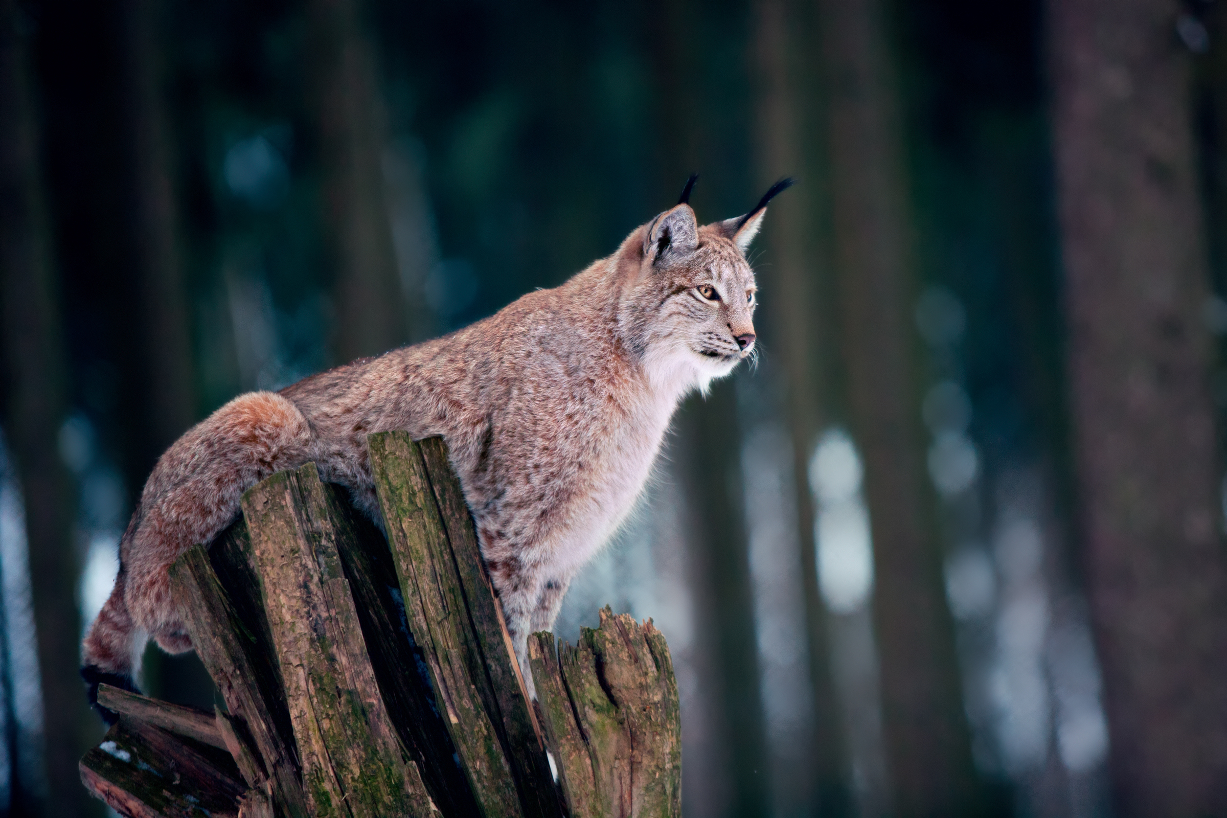 The decision on lynx release is due over the coming months