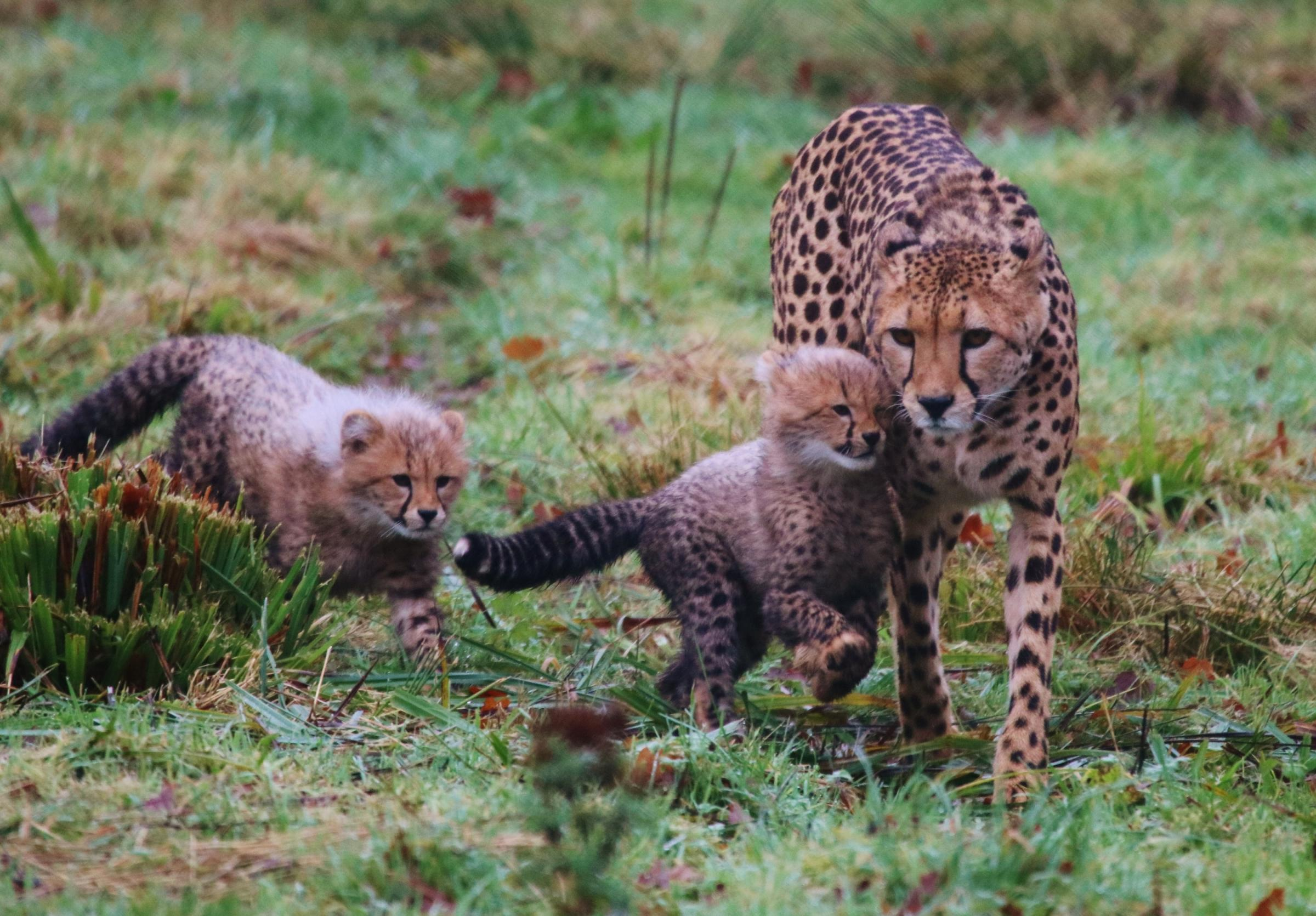 A cheetah and two cubs.
