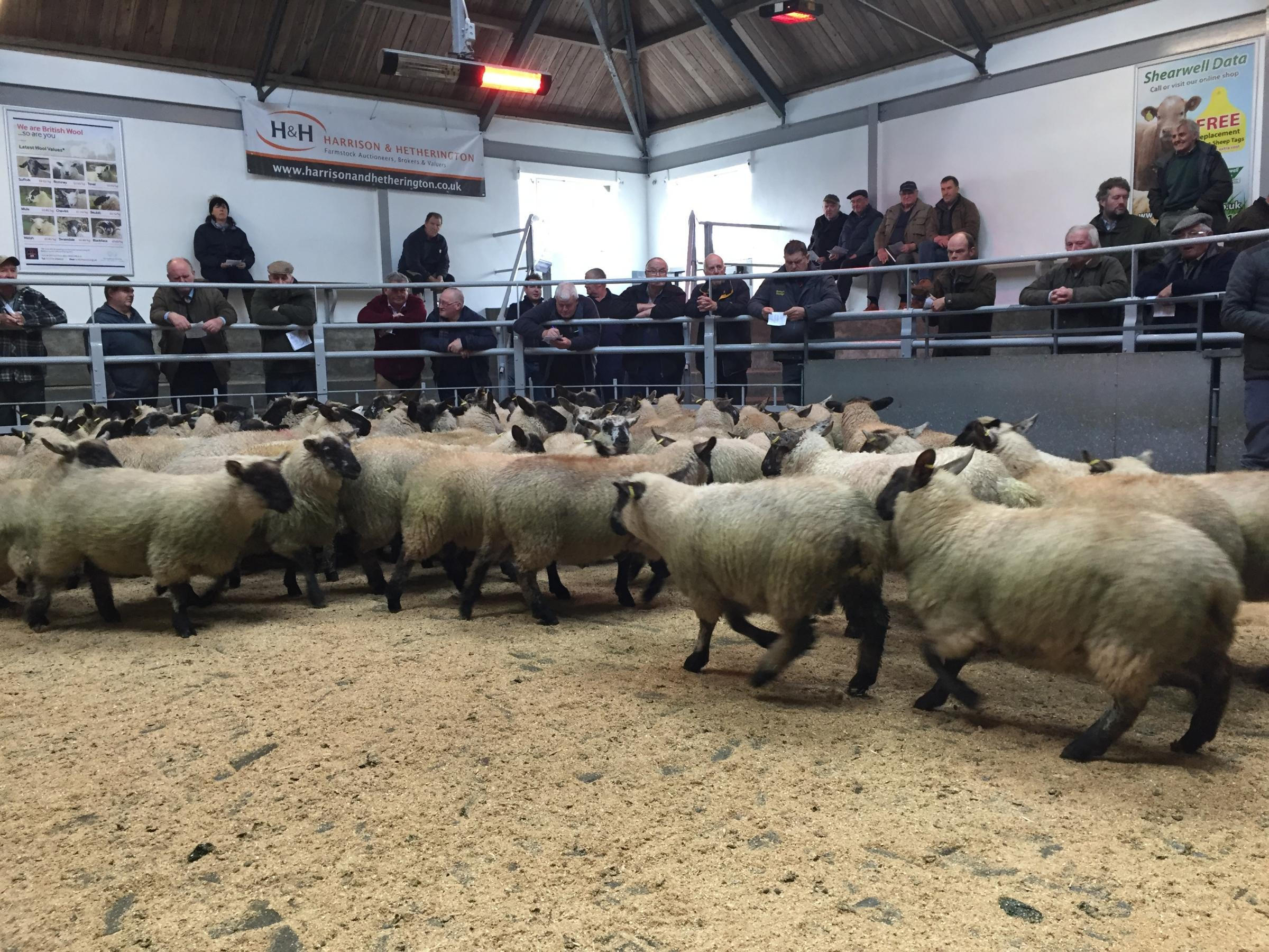 Prime lambs on sale at St Boswells