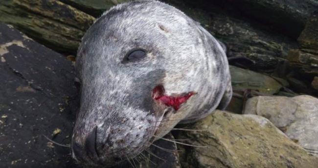 Seal found killed at Murkle Bay, Caithness two years ago. Source:  Sea Shepherd