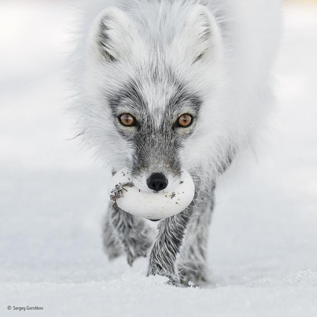 Arctic Treasure by Sergey Gorshkov, a finalist in Wildlife Photographer of the Year
