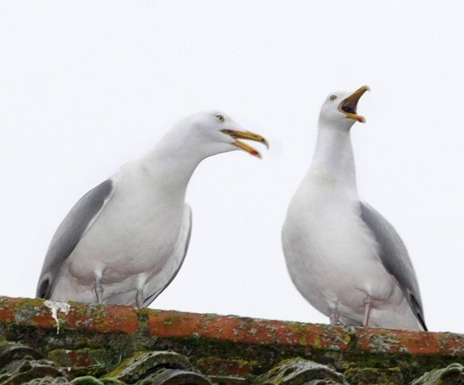 MP backs contraceptive pill for problem seagulls